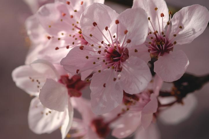 CherryBlossomBunch